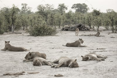 A pride of lions resting after feeding on a dead elephant.