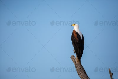 A fish eagle, perches on a dead branch, blue sky background