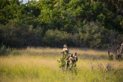 monkeys on tree branch at sunset, Botswana