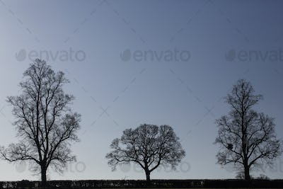 Silhouette of three trees with different shapes against a dark clear winter sky.