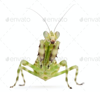 Female Banded Flower Mantis or Asian Boxer Mantis, Theopropus elegans, in front of white background