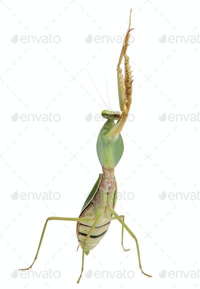 Female Praying Mantis, Rhombodera Basalis, in front of white background