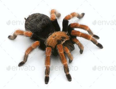 Tarantula spider, Brachypelma Boehmei, in front of white background