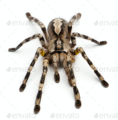 Tarantula spider, Poecilotheria Fasciata, in front of white background