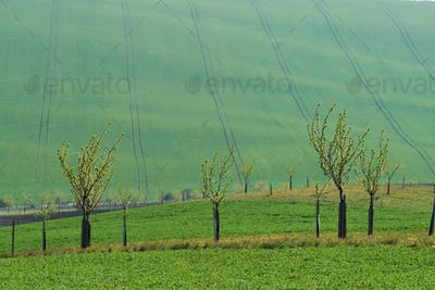 Beautiful nature. Line of fresh trees on the green agriciltural fields at daytime