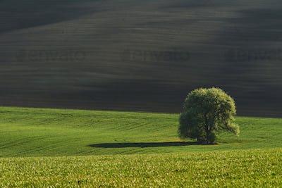 Tree on green field in Moravia. Beautiful nature. Rural scene