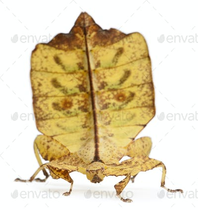 Phyllium Westwoodii, a stick insect, in front of white background
