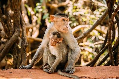 Goa, India. Bonnet Macaque - Macaca Radiata Or Zati With Newborn Sitting On Ground. Monkey With