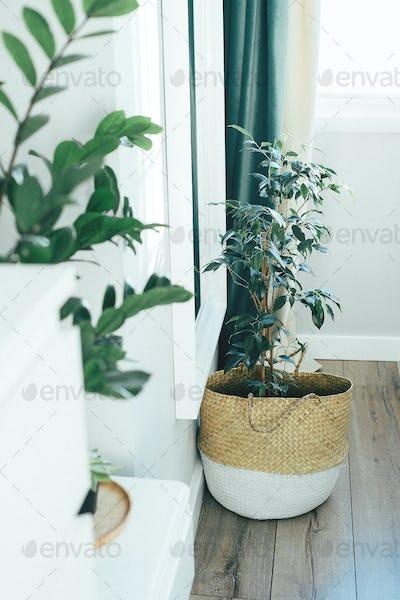 Benjamin ficus in a wicker basket on a floor. Home plant, indoor flowers, garden room.