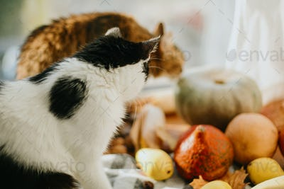 Two cats sniffing pumpkins in sunny light at home