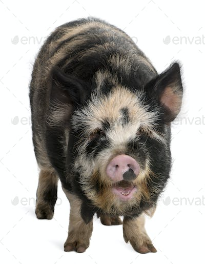 Kounini pig in front of white background