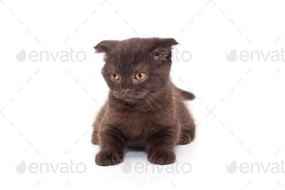 Scottish fold black kitten
