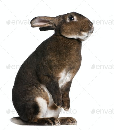 Castor Rex rabbit standing on hind legs in front of white background
