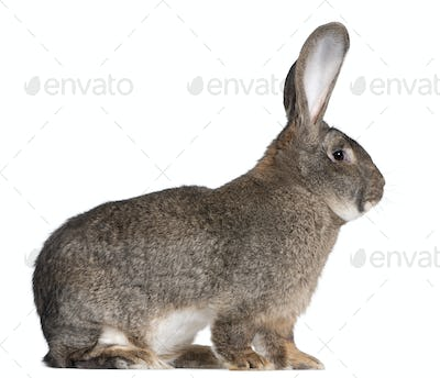 Flemish Giant rabbit in front of white background