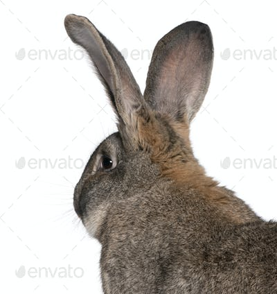 Close-up of Flemish Giant rabbit in front of white background