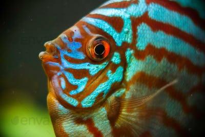 Discus fish detailed close up in the aquarium