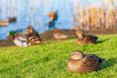 Wild ducks Mallard Anas platyrhynchos standing on the shore, female wild duck outside summer