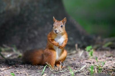 Cute red squirrel in autumn forerst