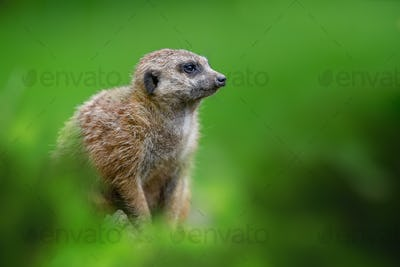 Meerkat standing looking for something. Suricata suricatta wild predators in natural environment.