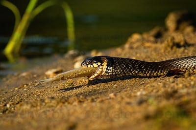 Grass snake holding fish on riverside in summer sunset