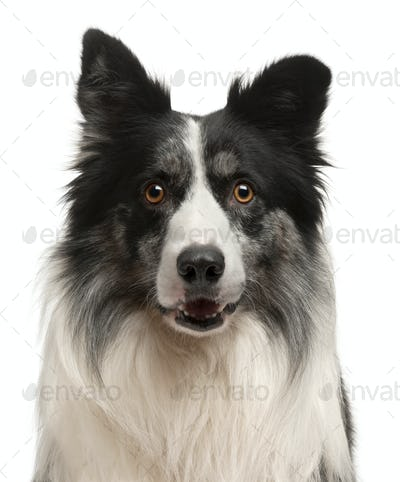 Close-up of Border Collie in front of white background