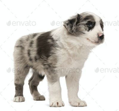 Border Collie puppy standing in front of white background