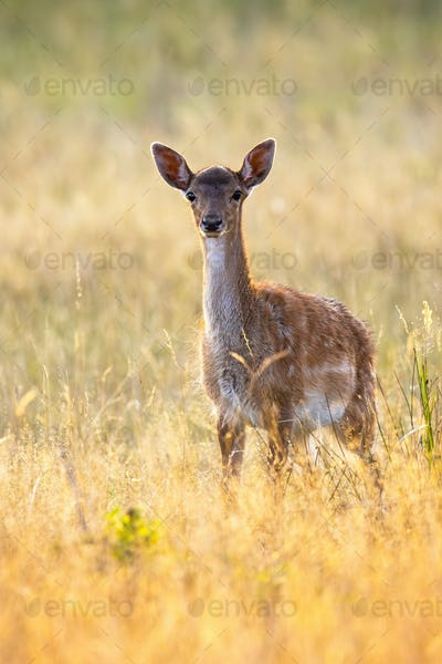 Young fallow deer standing on meadow in summer sunset