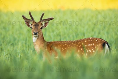 Fallow deer stag with growing antlers standing on field in summer nature