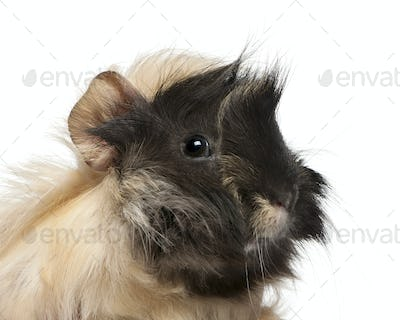 Young Peruvian guinea pig, 6 months old, in front of white background