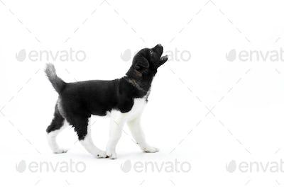 Barking american s akita black and white puppy