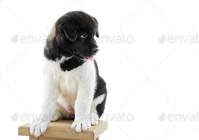 Fluffy american akita s puppy sits on the woodn chair