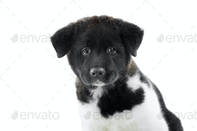 A nice fluffy american s akita puppy looks at the camera