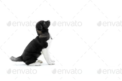 Cute american s akita puppy with black and white fur