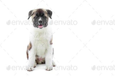 Cute little white and brwn american akita
