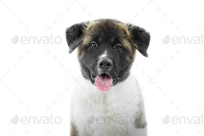 A nice fluffy american s akita puppy looking at the camera