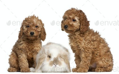 Poodle puppies, 2 months old, and rabbit in front of white background