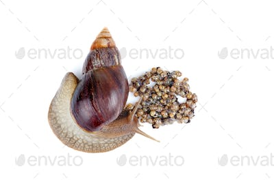 Mature and young giant African snails