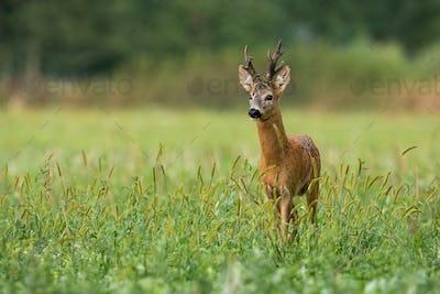 Vital roe deer buck standing on meadow in summer nature