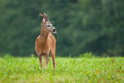 Roe deer male standing on meadow in summer nature