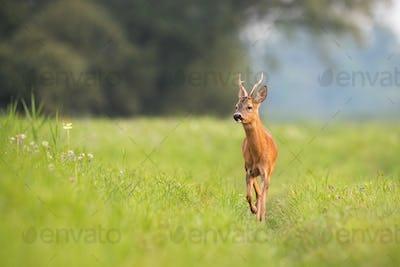 Roe deer buck approaching on meadow in summertime nature