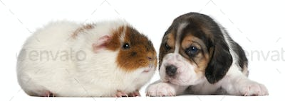 Beagle Puppy, 1 month old, and Teddy guinea pig, 9 months old, in front of white background