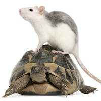Rat and Hermann's tortoise, Testudo hermanni, in front of white background