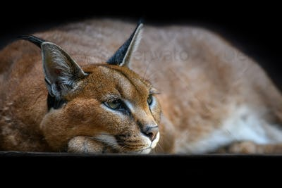 Caracal lynx over black background