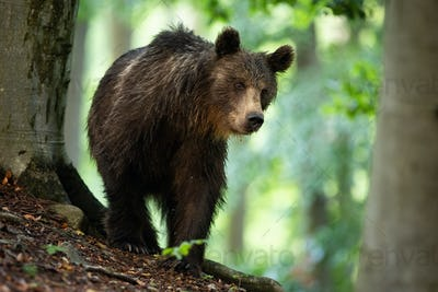 Brown bear walking in forest in summertime nature