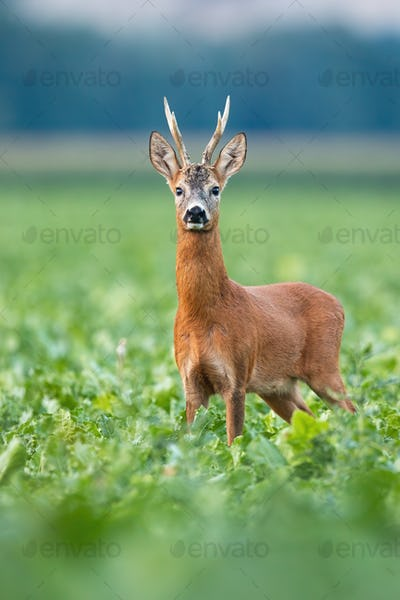 Alert roe deer buck standing on field in summer nature
