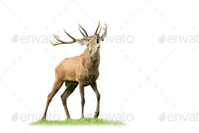 Wild red deer stag roaring and approaching in mating season isolated on white