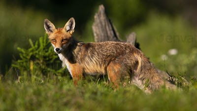 Calm red fox standing on meadow in summer nature