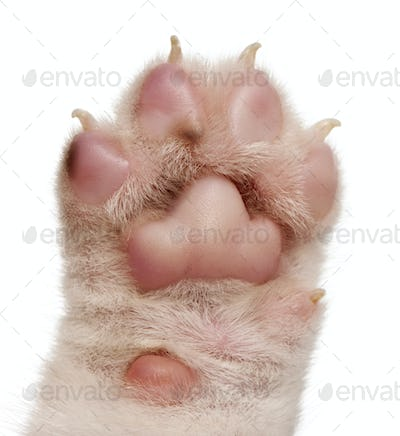 Close-up of puppy's paw, 4 weeks old, in front of white background