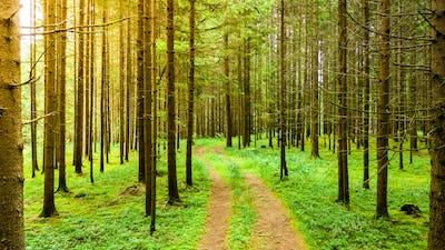 Path through Styrian forest in summer