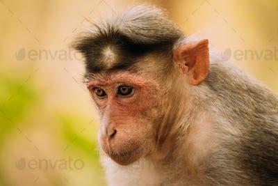 Goa, India. Bonnet Macaque Monkey - Macaca Radiata Or Zati. Close Up Portrait
